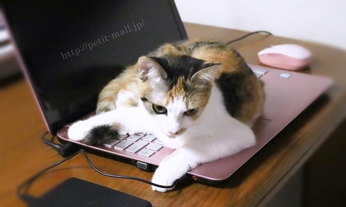 猫がパソコンキーボードの上に乗る