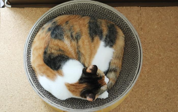 バリバリボウルで寝る猫