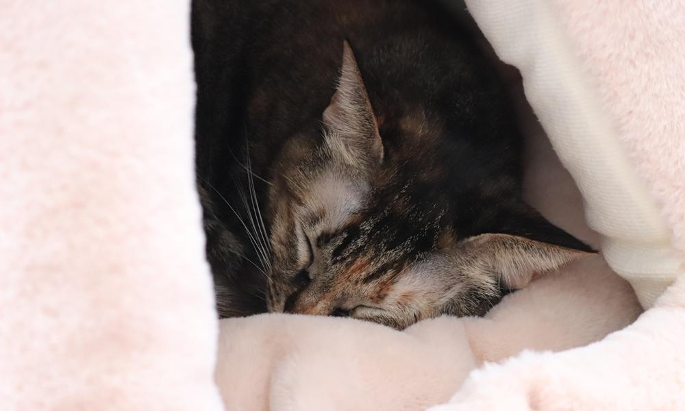 ペットハウス ふんわりクッションで寝る猫