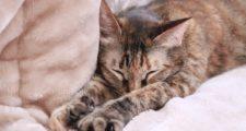 メルトロこたつ布団でくつろぐ猫