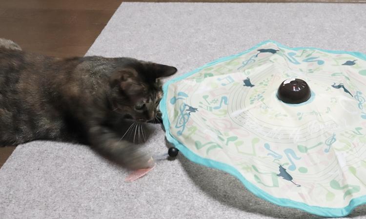 キャッチミーイフユーキャンで遊ぶ猫